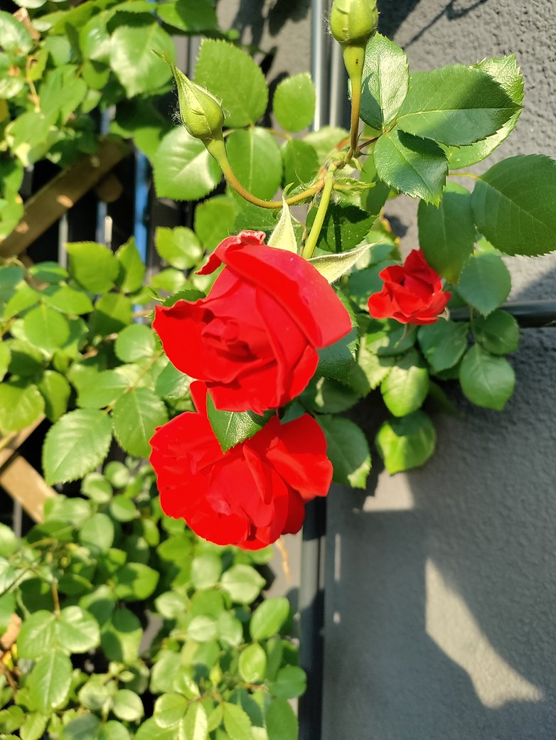 OnePlus Nord CE camera roses